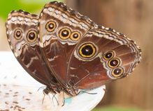 Two big butterflies. Costa Rican big butterflies feeding Royalty Free Stock Images