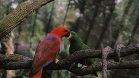 Two big colourful Parrots feeding each other. Sitting on the branch stock video footage