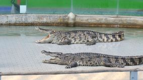 Two big crocodiles lie with open jaws in arena. Two big crocodiles lie with open jaws in the arena stock footage