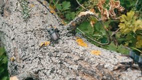 Two big deer beetles Lucanus cervus creep along tree. Rare beetles in the forest