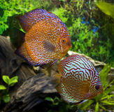Two big discus Royalty Free Stock Photo