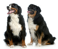 Two big dogs Royalty Free Stock Photography