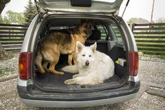 Two big dogs in the car. Travel with a dog in the trunk. Two big dogs in the car. Carrying dogs in the car. Travel with a dog. Car trunk and Shepherd Royalty Free Stock Image