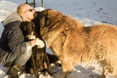 Dogs kissing the owner. Two big dogs kiss their owner royalty free stock photography