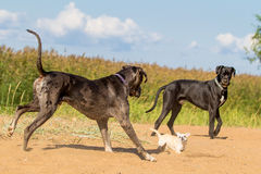 Two big dogs and one little dog. Two big dogs play with little dog Royalty Free Stock Photo