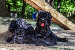 Two Russian Black Terrier breed dogs laying on the ground stock images