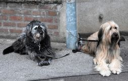 Two big dogs, tied to a lamp post, wait for their owners. Waeller dog and a mongrel tethered to a street lamp wait together for their owners. The Wäller is a stock images