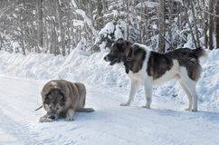 Two wolfhound dogs playing in the snow royalty free stock image