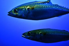 Two big fish in the ocean royalty free stock photography