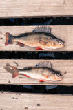Two big fish (Perch) freshly caught on a wooden board Royalty Free Stock Photo