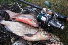 Two big freshwater common bream fish and fishing rod with reel on landing net. Good catch. Just taken from the water big freshwater common bream known as bronze royalty free stock image