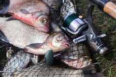 Two big freshwater common bream fish and fishing rod with reel on landing net. Good catch. Just taken from the water big freshwater common bream known as bronze stock photo