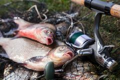 Two big freshwater common bream fish and fishing rod with reel on landing net. Good catch. Just taken from the water big freshwater common bream known as bronze stock images