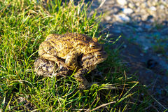 Two big frogs bask in the sun. Animal two big frogs bask in the sun Stock Images