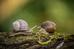 Two big garden snails Royalty Free Stock Images