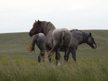 Two big gray draft horses Royalty Free Stock Photo