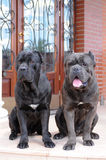 Two big gueard dogs ready to protect the house Stock Photos