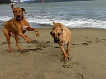 Two big happy dogs jumping, running and playing fetch with stick in on the beach with Golden Gate Bridge in the background royalty free stock photo