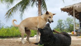 Two Big Happy Dogs are Playing and Fighting on the Sandy Beach. Koh Phangan, Thailand. stock footage