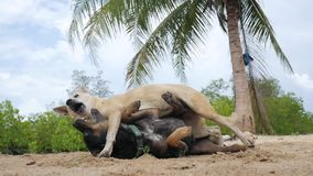 Two Big Happy Dogs are Playing and Fighting on the Sandy Beach. Koh Phangan, Thailand. stock video
