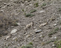 Two Big Horn Sheep Lambs Royalty Free Stock Photography