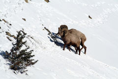 Two Big Horn Sheep on snowy mountain side Royalty Free Stock Photos
