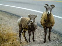 Big horns standing beside the road, Jasper National Park, Alberta, Canada. Two big horns a juvenile and a lamb standing beside the road Royalty Free Stock Photo