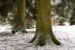 Two big spruce trees in the forest in winter Stock Photo