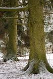 Two big spruce trees in the forest in winter Stock Images