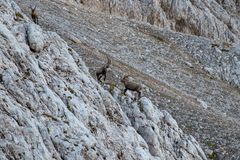 Two big ibex fighting. In Triglav national park Bohinj, Slovenia stock images