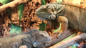 Two big lizards motionless sitting on tree stock video