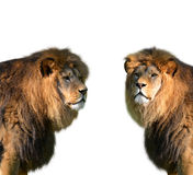 Two big male lion Royalty Free Stock Photography