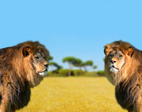 Two big male lion Stock Images