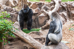 Silverback gorilla. Two big male silverback gorilla on zoo Stock Photography