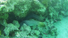 Two Big Morays on Coral Reef in Red Sea, Egypt. Two Big Morays in Coral Reef at the Red Sea, Egypt. Beautiful Colorful Tropical Fish on Vibrant Coral Reefs stock footage