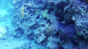 Two Big Morays on Coral Reef in Red Sea, Egypt. Two Big Morays in Coral Reef at the Red Sea, Egypt. Beautiful Colorful Tropical Fish on Vibrant Coral Reefs stock video footage
