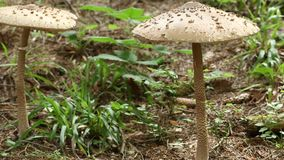 Two big mushrooms in the forest stock video footage