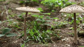 Two big mushrooms in forest stock video