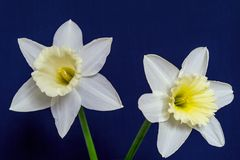 Two big a narcissus flower closeup Royalty Free Stock Photos