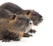 Two big nutria. On a white background royalty free stock image