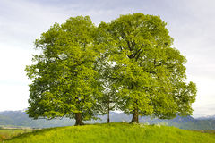 Two big old trees in Bavaria Royalty Free Stock Photography