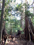 Two big old trees in the jungle Royalty Free Stock Photography