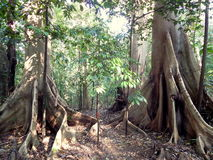 Two big old trees in the jungle Stock Photo