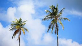 Two big palm trees in the blue sunny sky. Two big palm trees background the blue sunny sky stock video