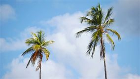 Two big palm trees in the blue sunny sky stock video footage