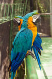 Two big parrots Royalty Free Stock Image