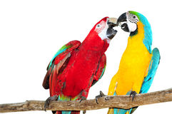 Two big parrots, couple of beautiful macaws Isolated on white Royalty Free Stock Images