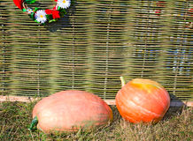 Two big pumpkins lie at a wattled fence. Stock Image