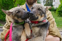 Two big puppies in the hands. Of a man Royalty Free Stock Image