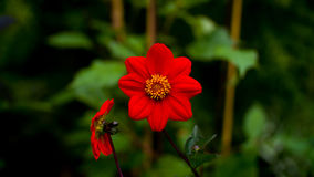Two Big red flower. Against a dark background Royalty Free Stock Photos